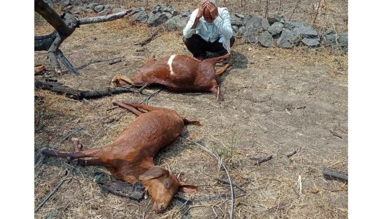 two goats were killed in pimpalgaon khurd